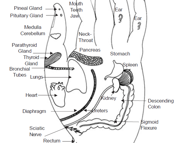 3.4 fingers to body functions thr organ meridians