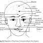 4.8 face corresponding to organs