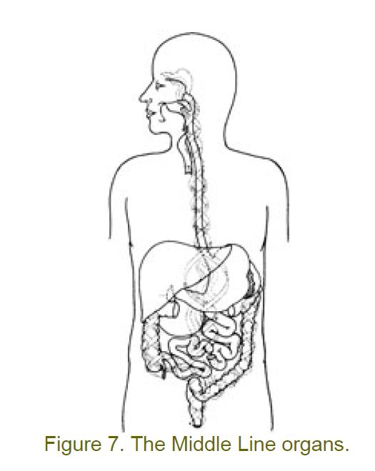 7 middle line organs