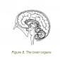 8 the brain organs