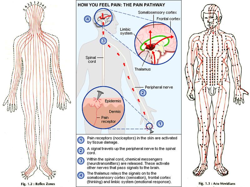 pain-pathway