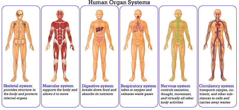 human-organ-systems